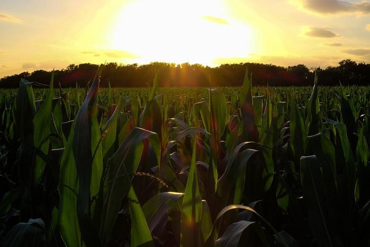 I-10 Corn Field